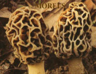 Fresh Morels growing wild in USA